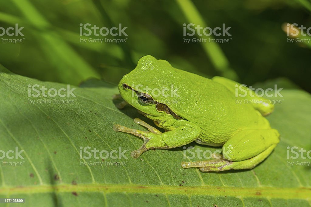 European tree frog on a leaf royalty-free stock photo