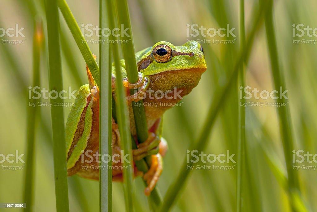European tree frog peeking from behind rush stock photo