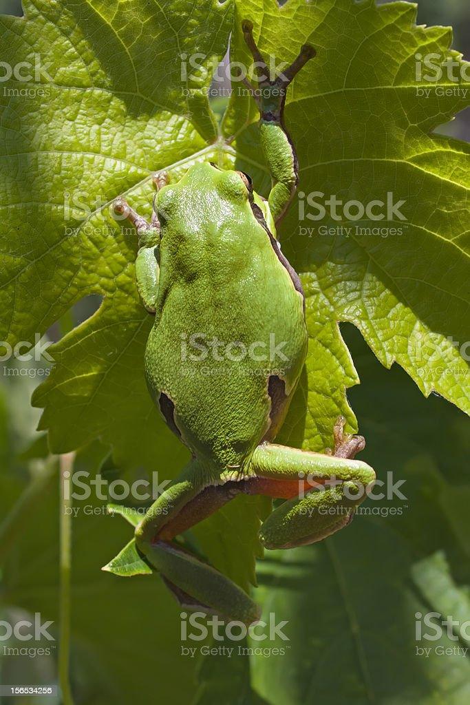 European Tree Frog stock photo