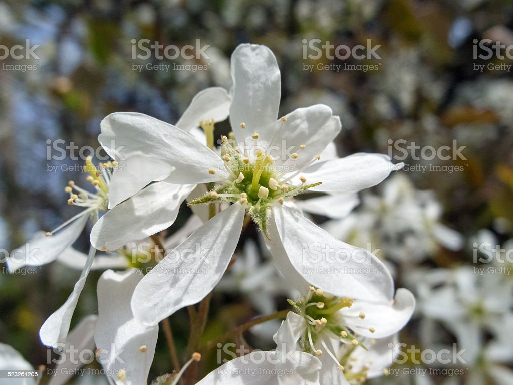 European trees in spring - Blossom of an Amelanchier stock photo