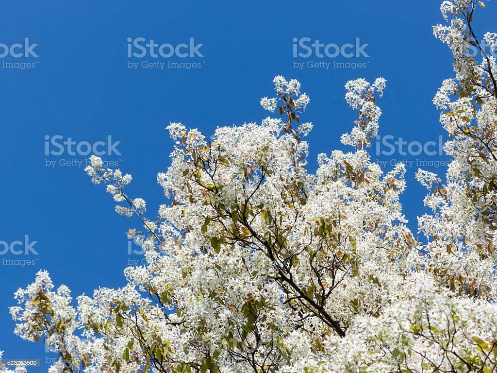 European trees in spring - Blossoms of an Amelanchier stock photo