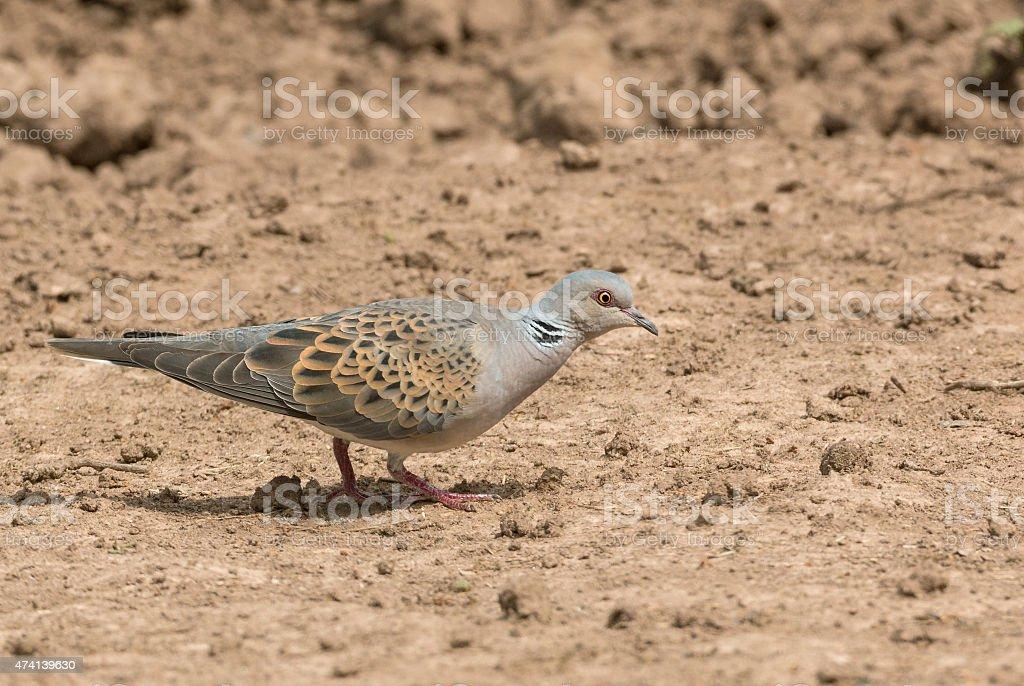 European turtle dove (Streptopelia turtur) stock photo