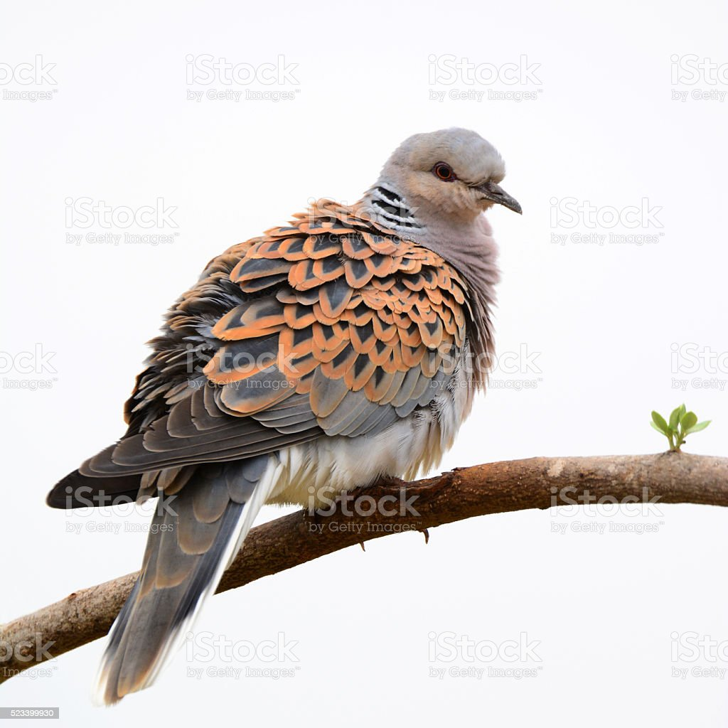 European turtle dove stock photo