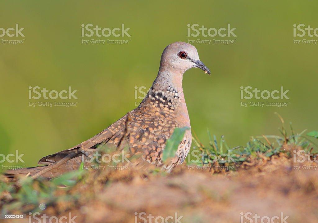 European Turtle-Dove stock photo