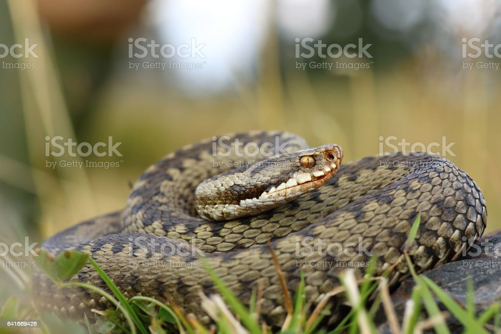 european viper on mountain meadow stock photo