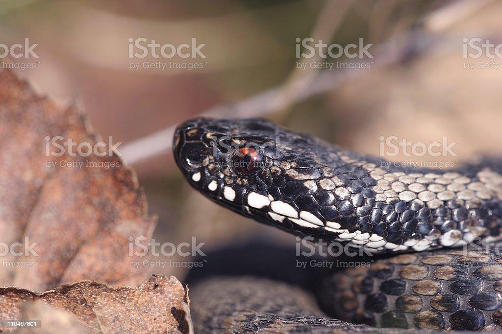 European viper (adder), Vipera berus stock photo
