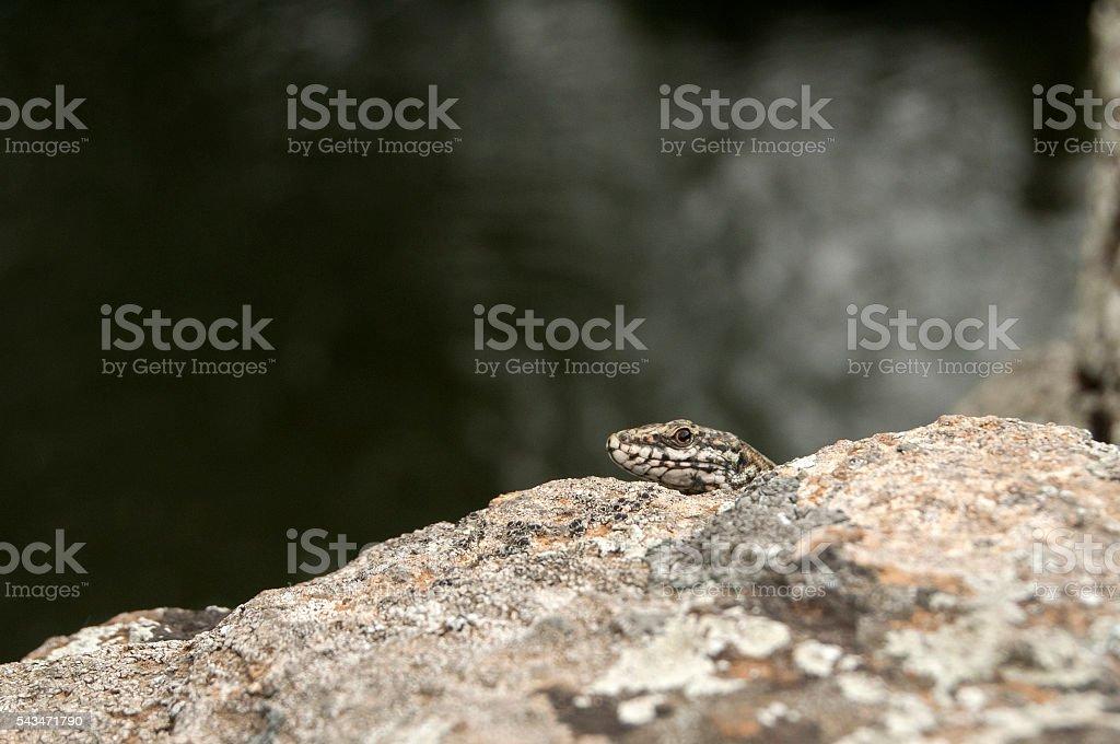 European wall lizard head stock photo