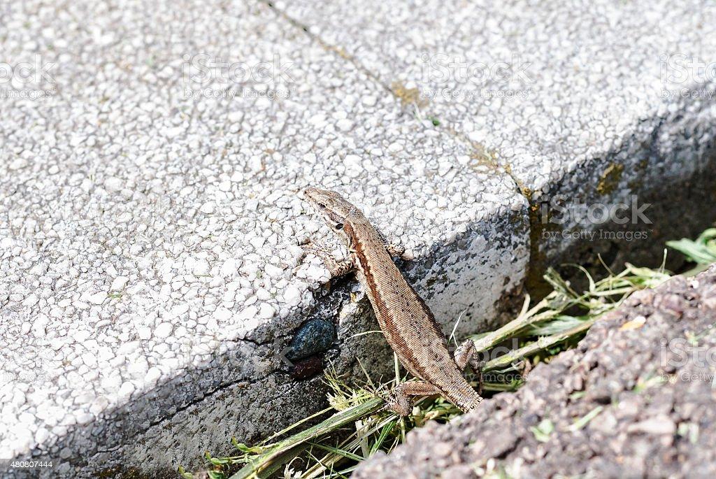European wall lizard (Podarcis muralis) sunning stock photo