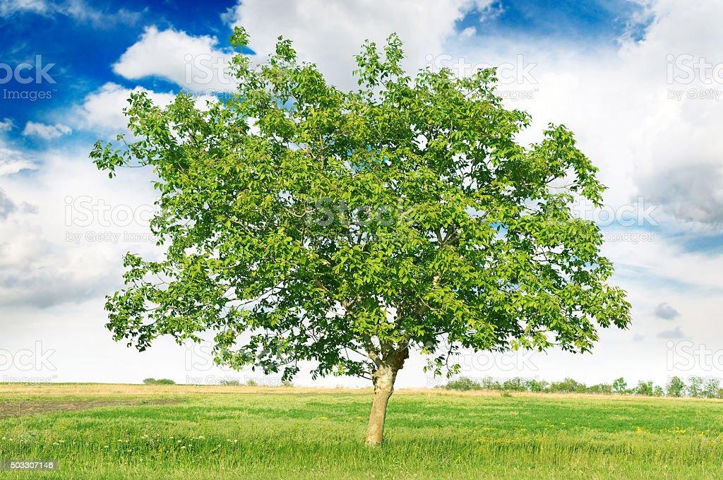 European walnut (Juglans regia) stock photo