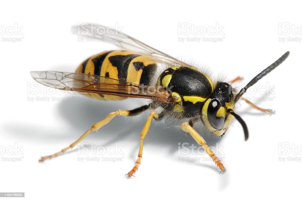 European Wasp stock photo