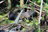 European water vole