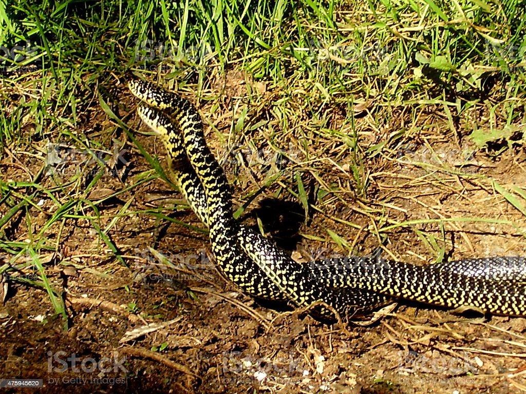 European Whip Snakes stock photo
