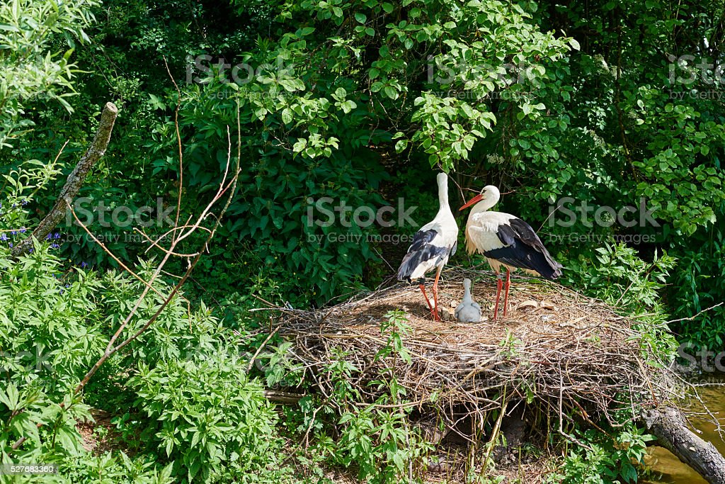 European White Stork Family stock photo