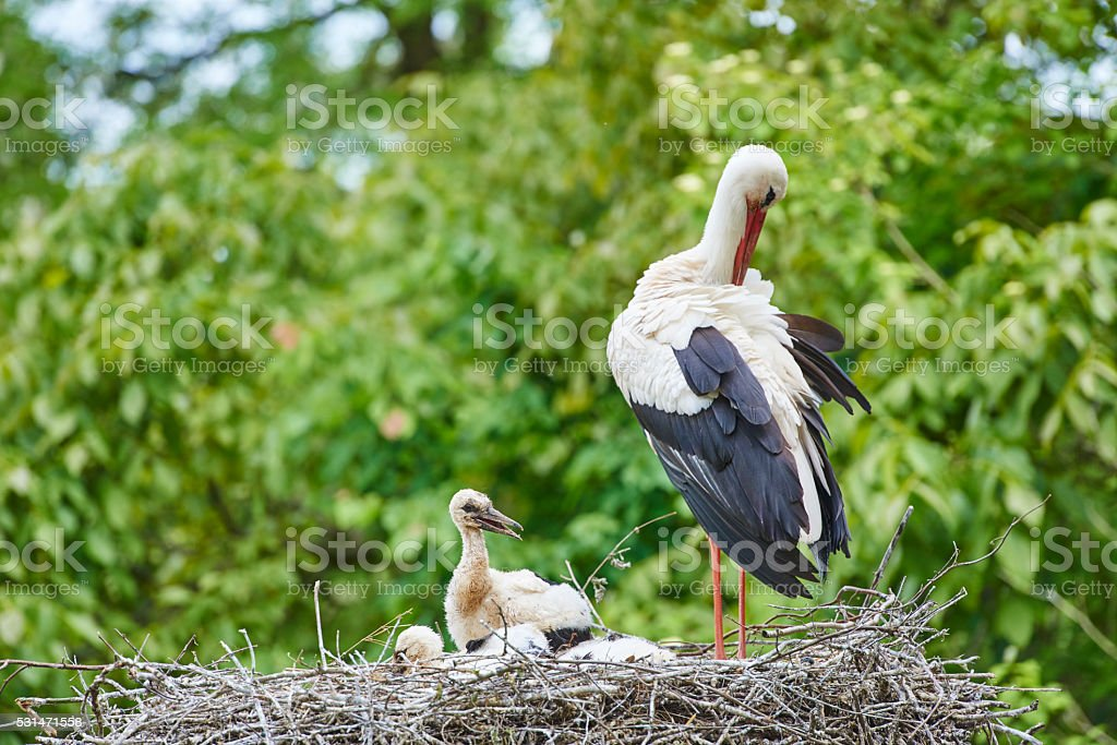 European White Storks stock photo
