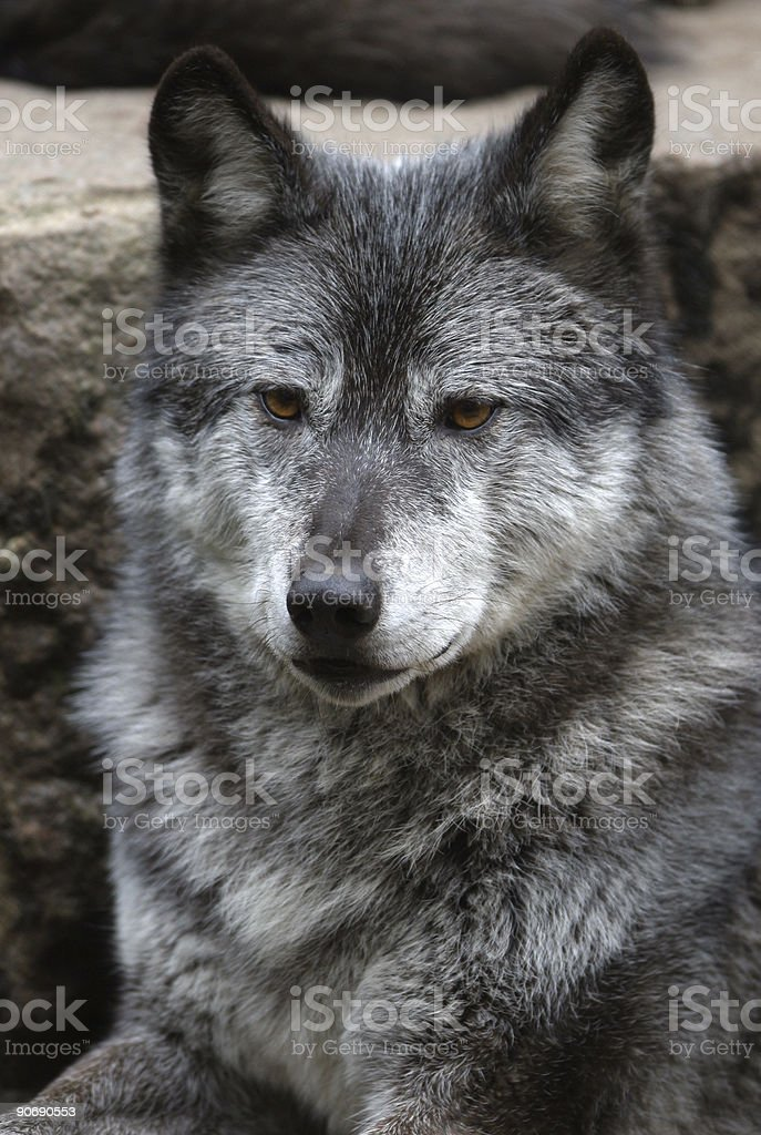 European wild wolf portrait royalty-free stock photo