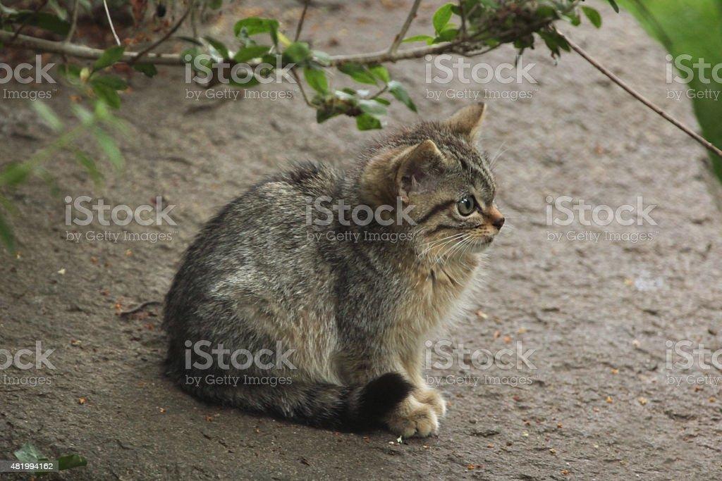 European wildcat (Felis silvestris silvestris) kitten. stock photo