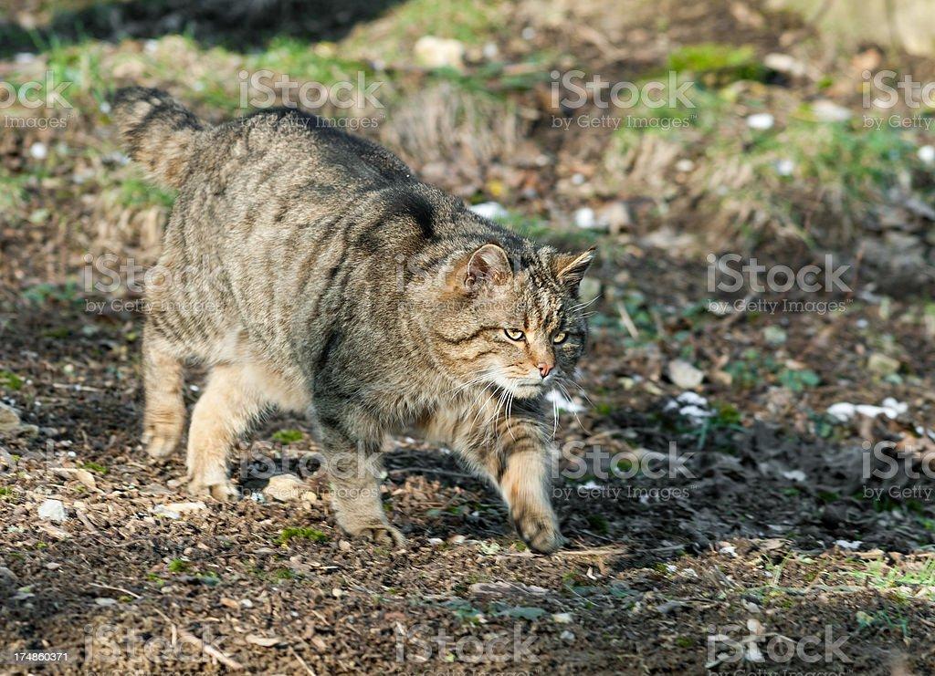 European Wildcat On The Hunt royalty-free stock photo