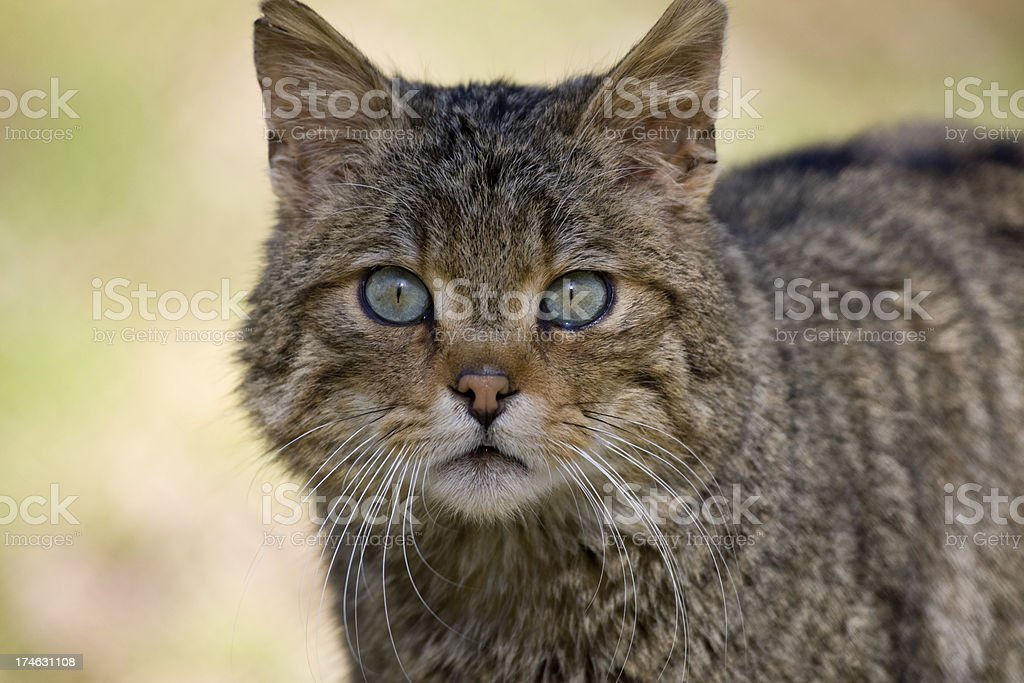 European Wildcat royalty-free stock photo