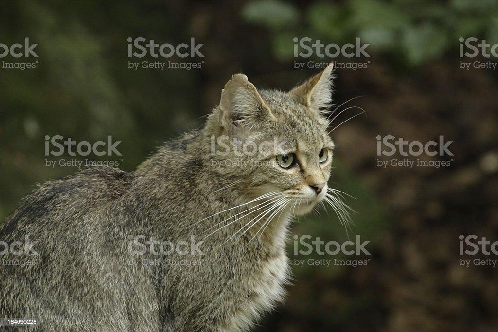 European wildcat stock photo
