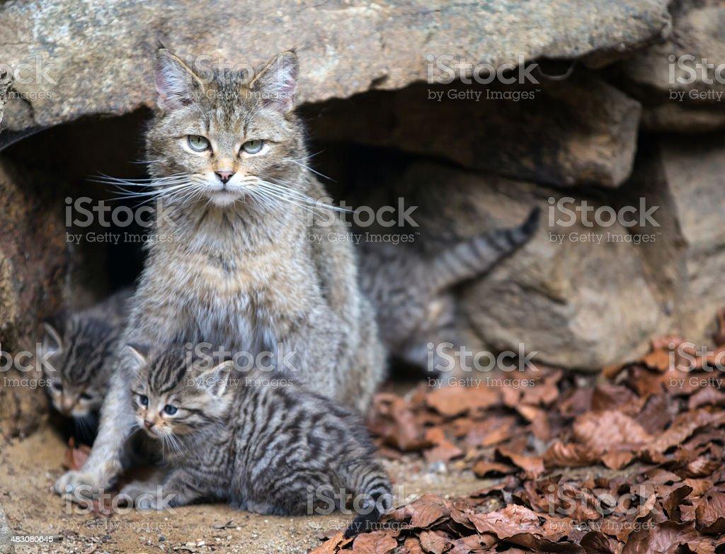 european wildcat (felis silvestris) stock photo