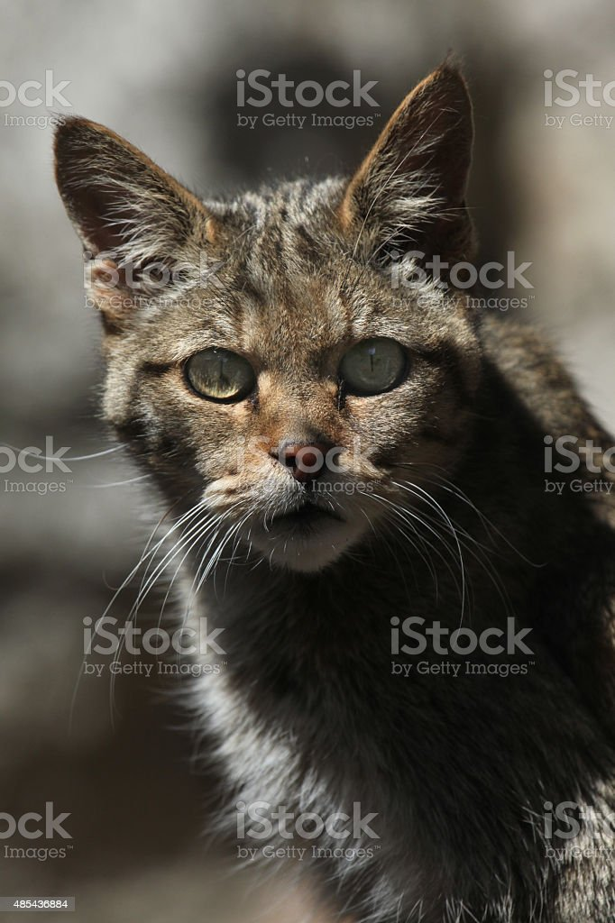 European wildcat (Felis silvestris silvestris). stock photo