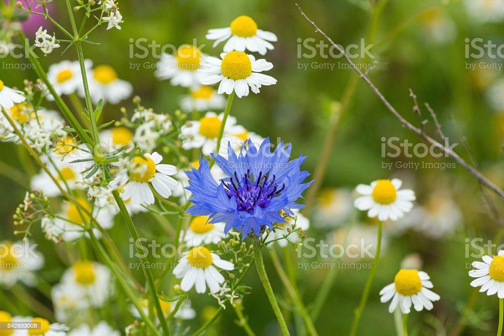 European Wildflower - Blossom of a Cornflower (Centaurea cyanus) stock photo