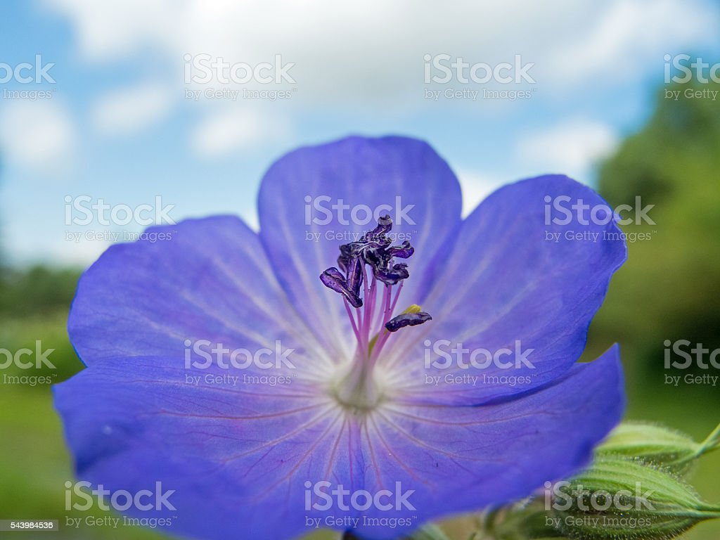 European wildflowers: Blossom of Geranium Pratense (Meadow cranesbill) stock photo