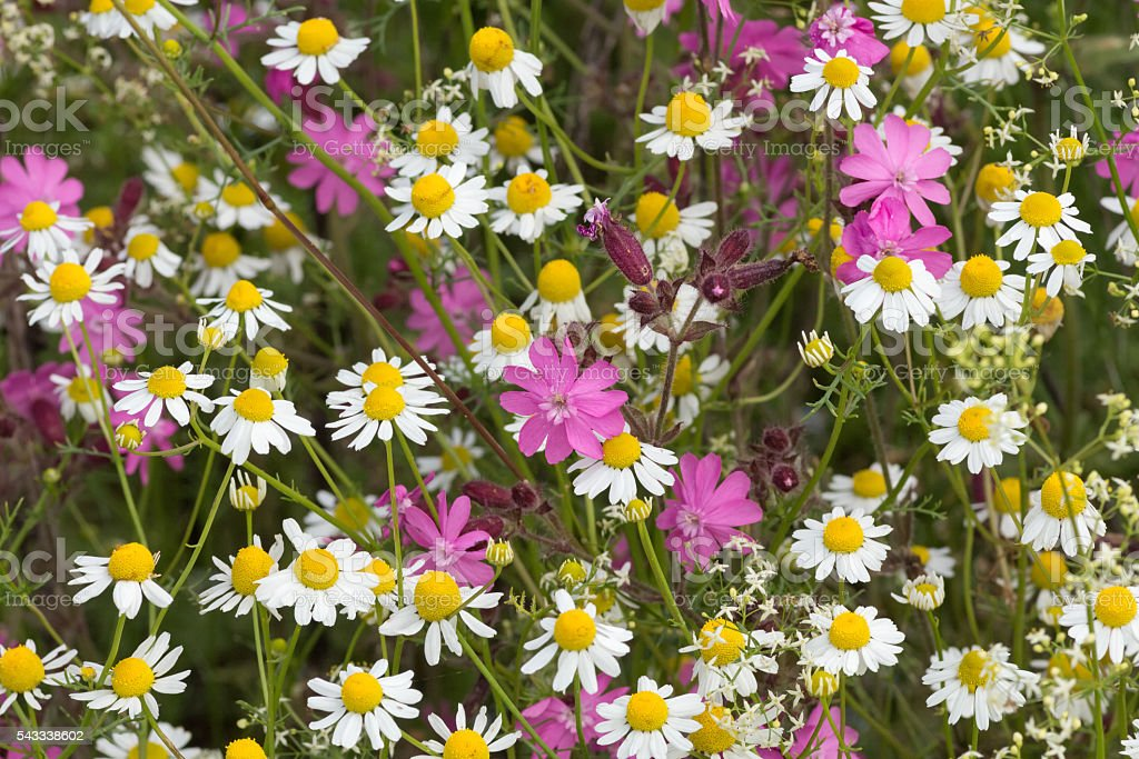 European wildflowers - Red Campion (Silene dioica) and Chamomile stock photo