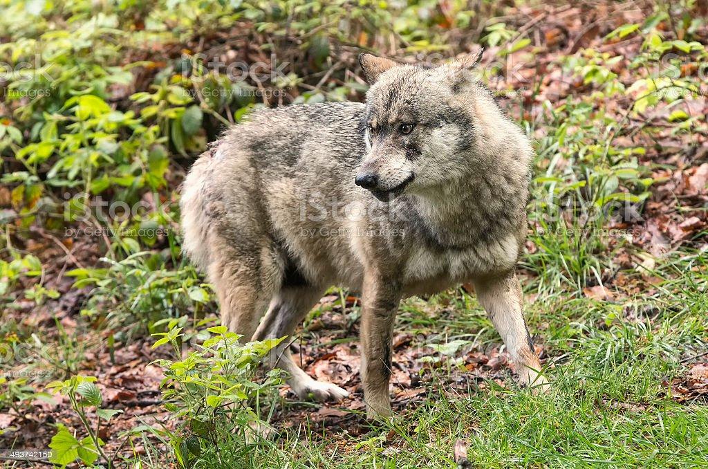 European wolf, Europaeischer Wolf, Canis lupus, wolf, CZECH REPUBLIC stock photo