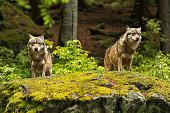 European wolf, Europaeischer Wolf, Canis lupus, wolf