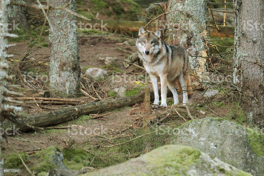 European wolf, Europaeischer Wolf, CZECH REPUBLIC. stock photo