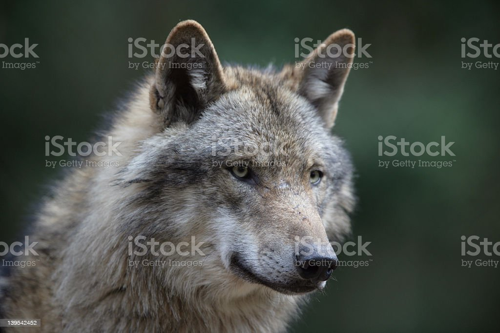 European wolf looking for food royalty-free stock photo