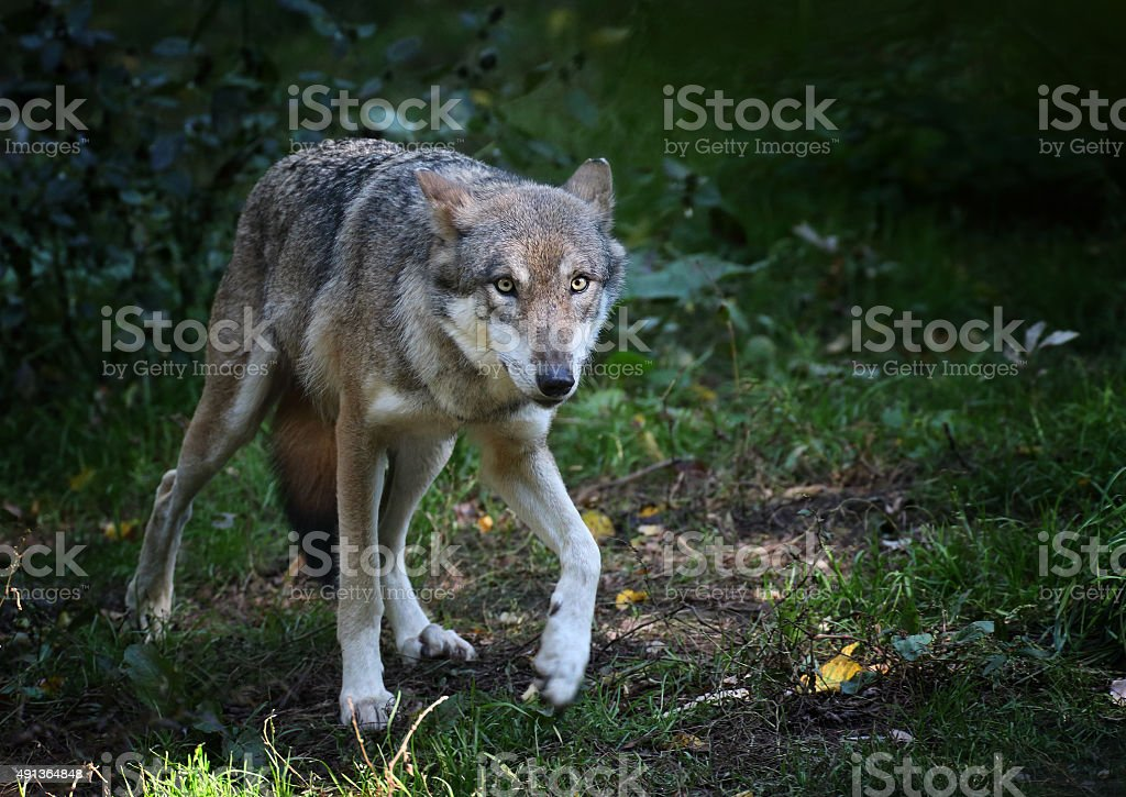 European Wolf Walking In A Forest stock photo