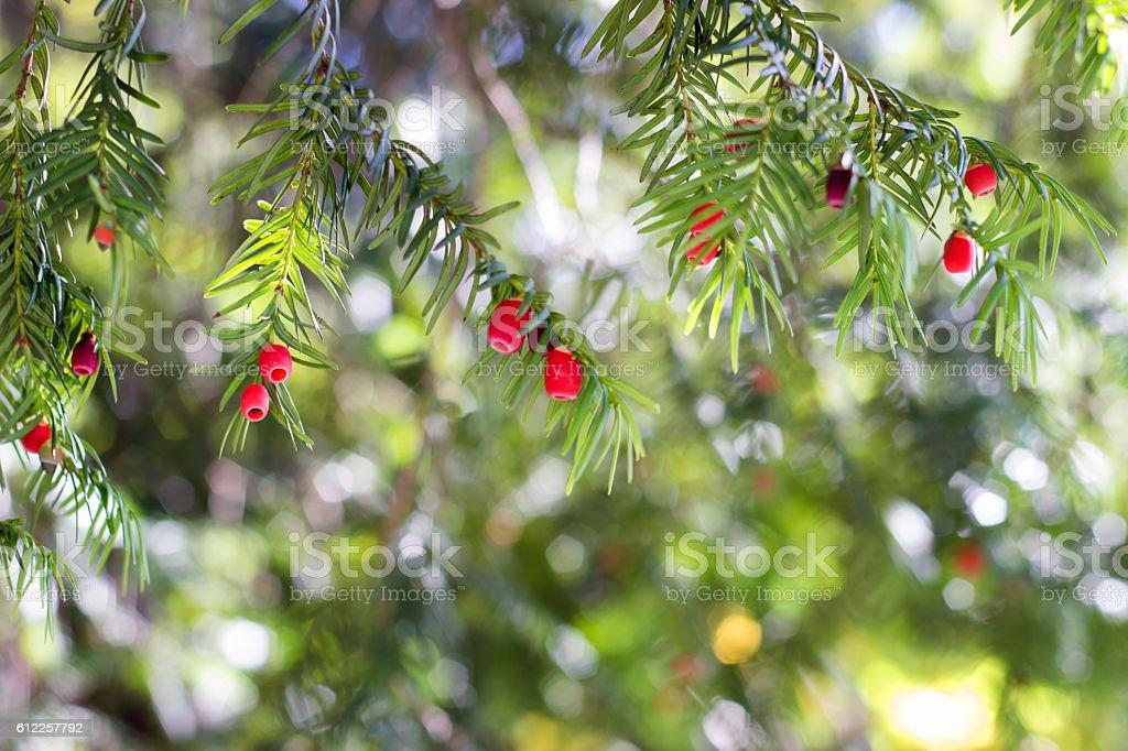 European yew (taxus baccata) tree stock photo