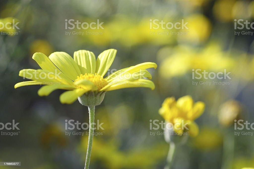 Euryops daisy royalty-free stock photo