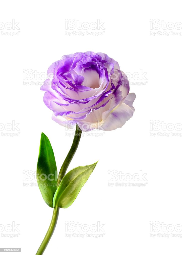 Eustoma flower isolated on a white background stock photo