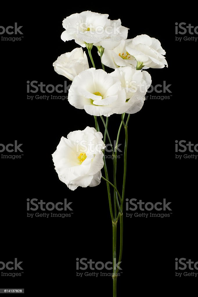 eustoma stock photo