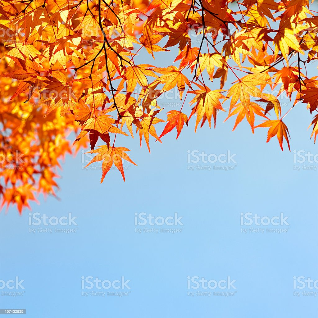 Evening Autumn Japanese Maple Leaves stock photo