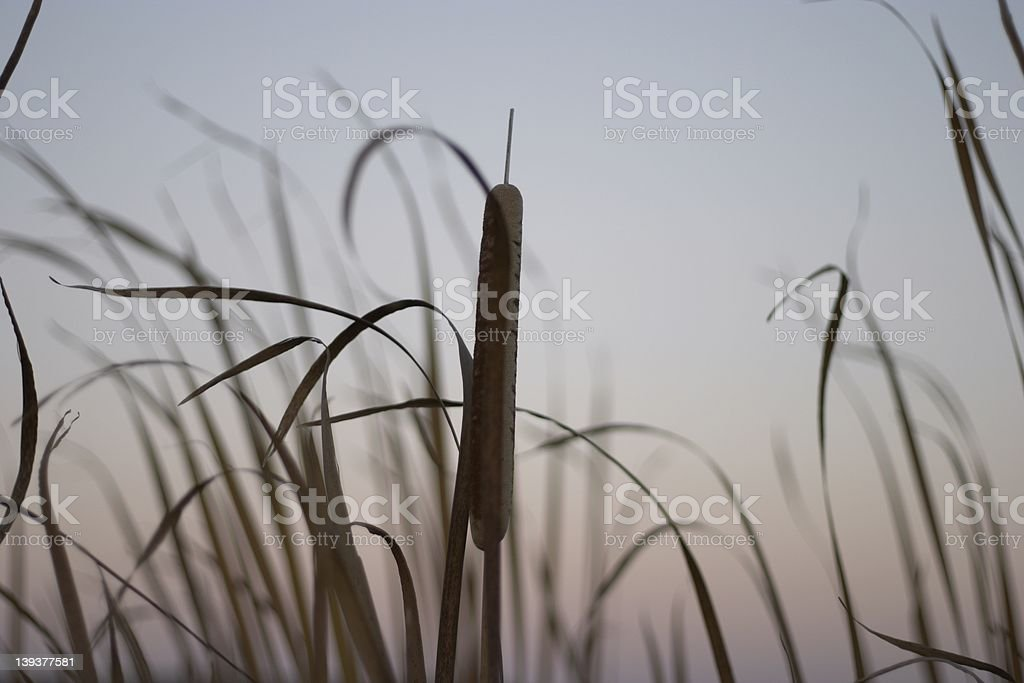 evening cat tail stock photo