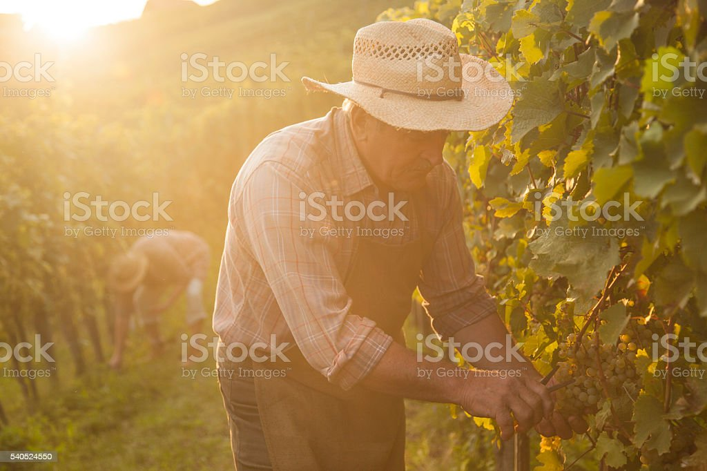 Evening harvest stock photo