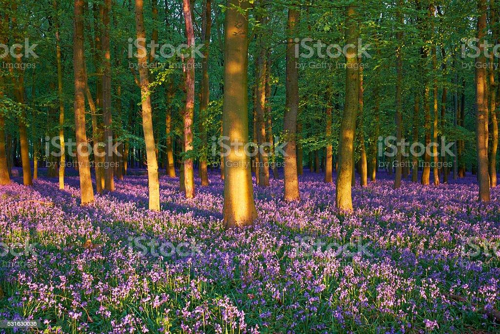 Evening Light On Bluebells stock photo