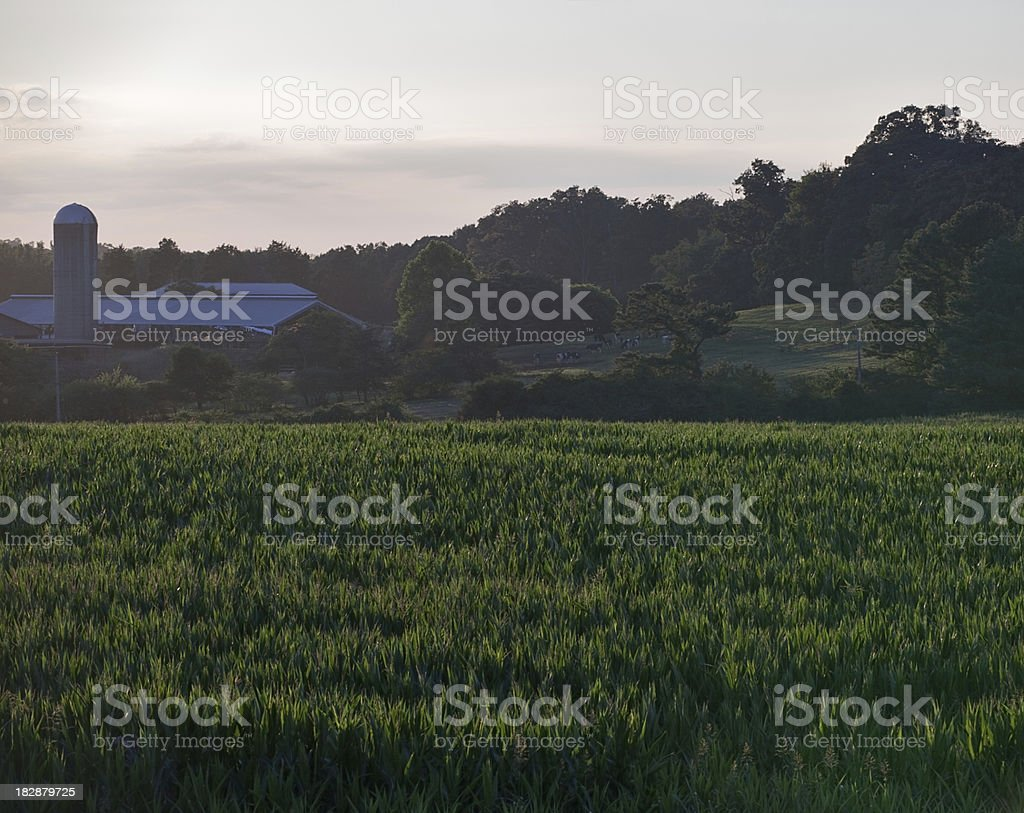 Evening on a North Carolina Corn Farm stock photo