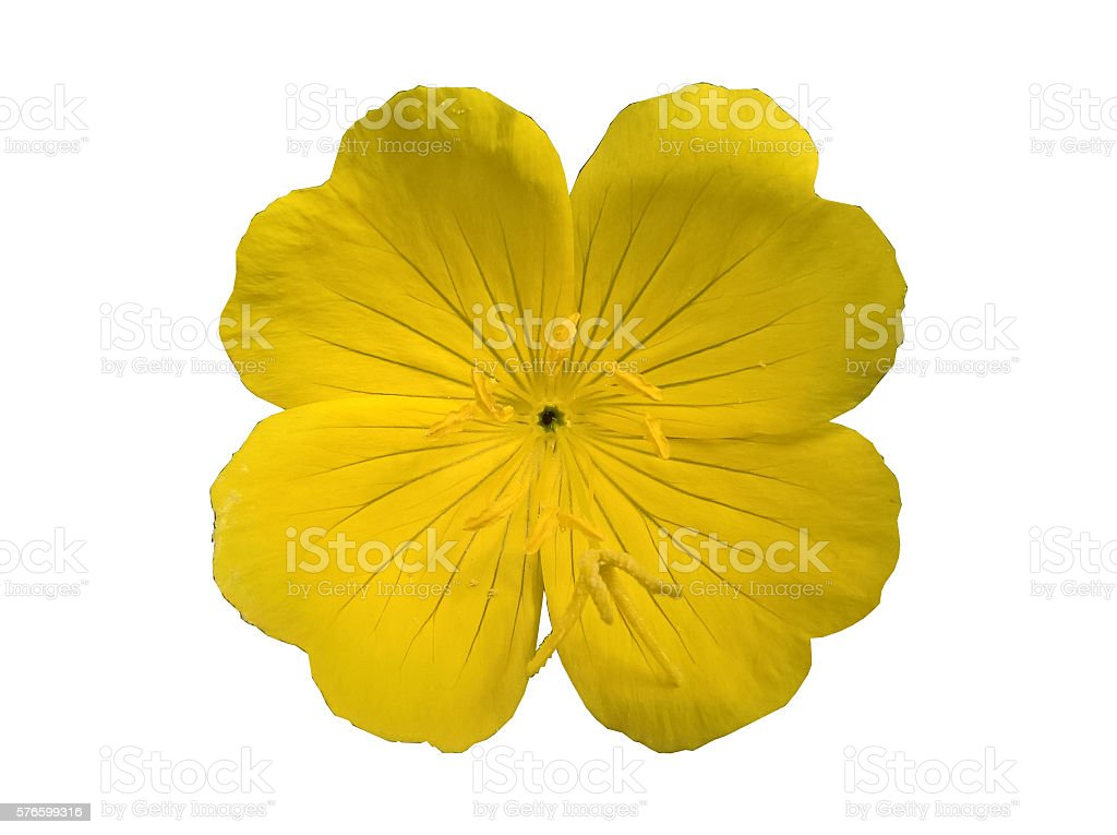Evening Primrose from above Isolated stock photo