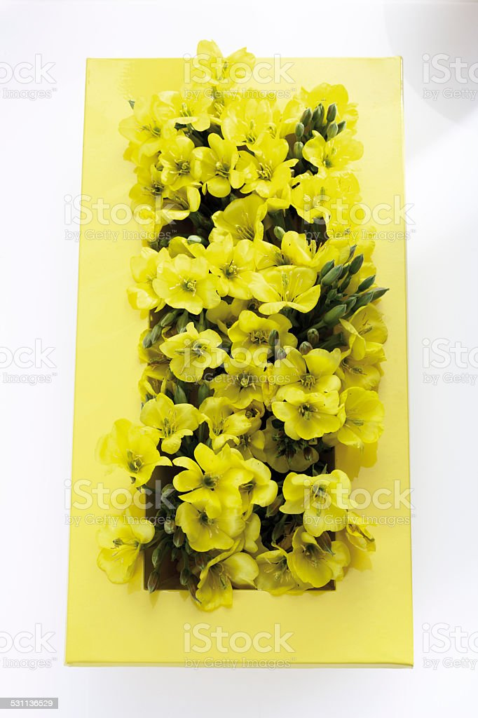 Evening primrose (Oenothera biennis) in yellow ceramic bowl stock photo