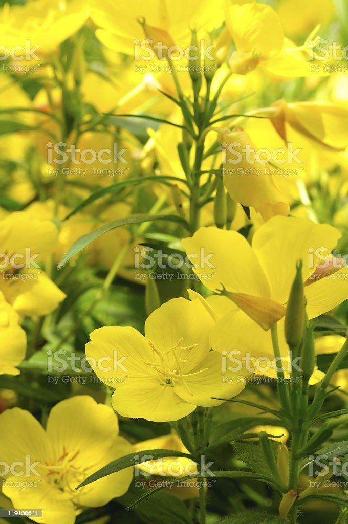 Evening Primrose (Oenothera) royalty-free stock photo