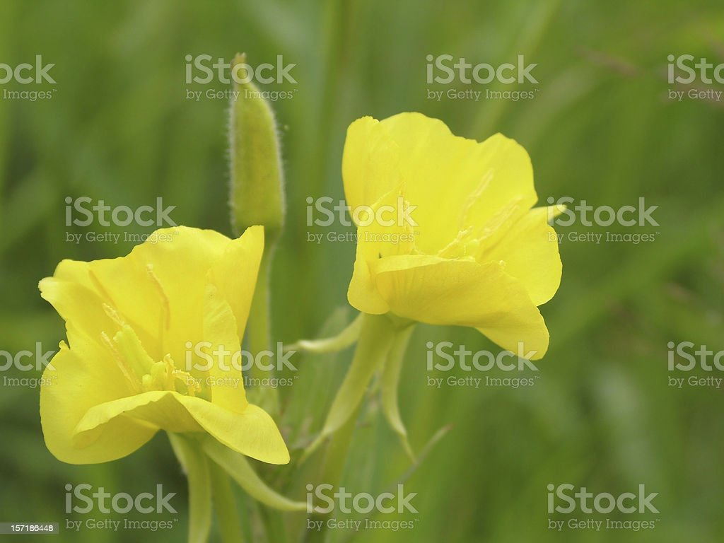 Evening primrose royalty-free stock photo
