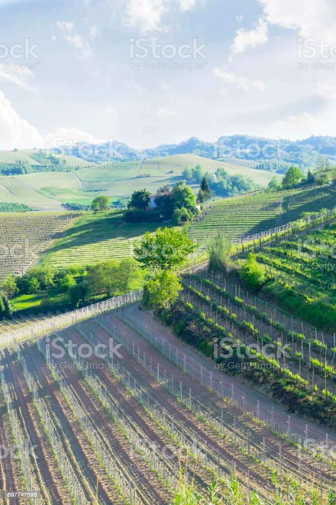 Evening vineyard,  Piedmont, Italy stock photo