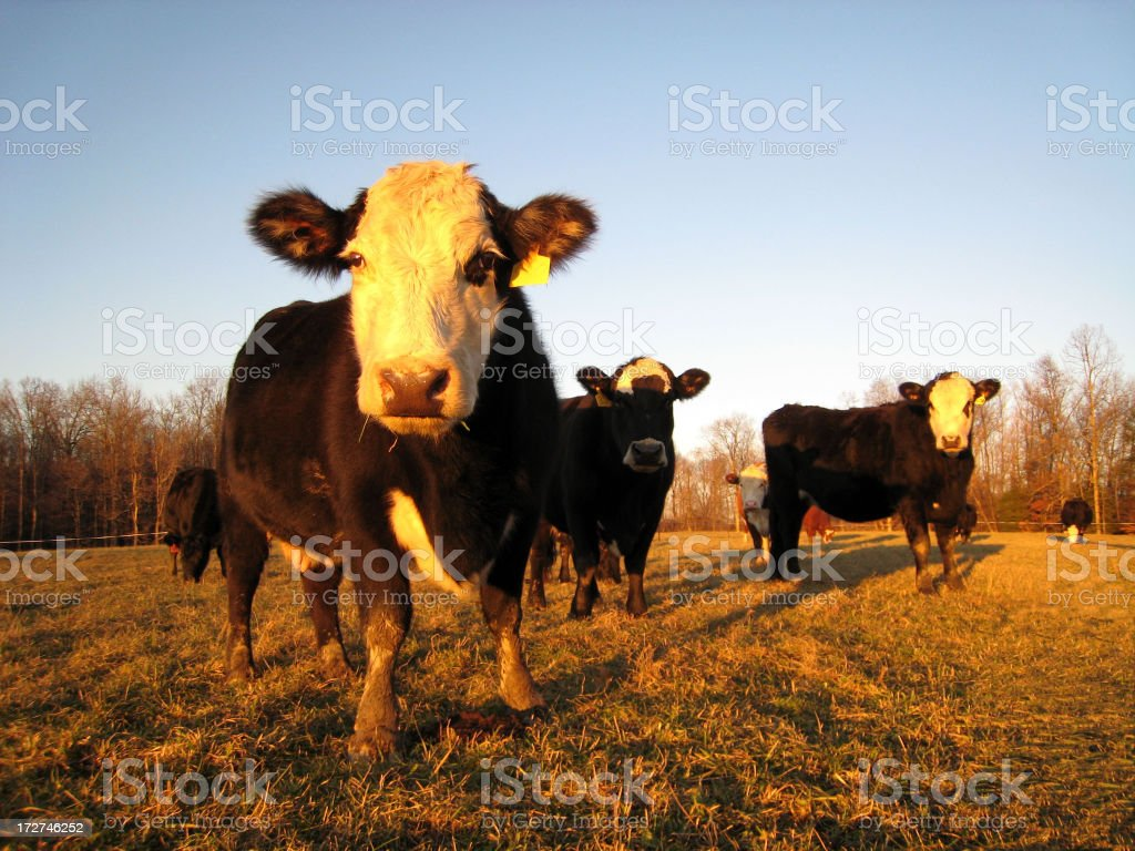 Evening Visitor royalty-free stock photo