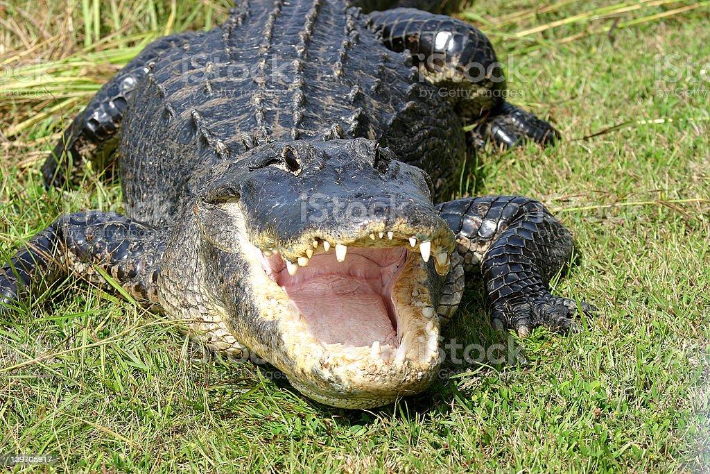 Everglades Alligator stock photo