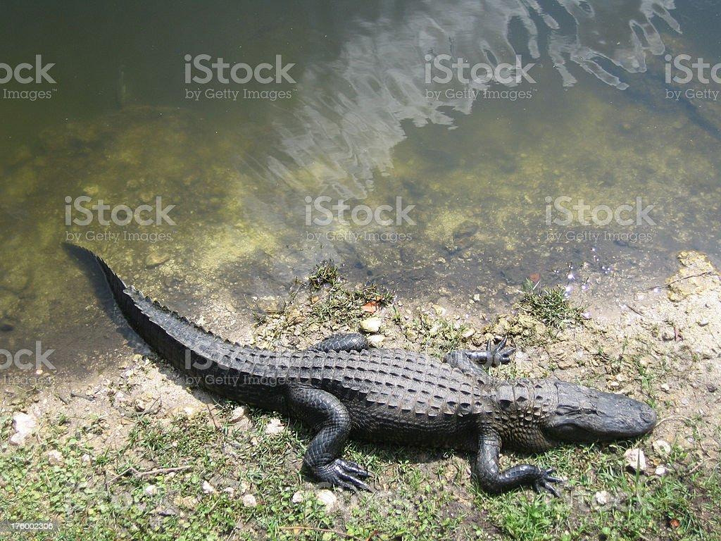Everglades Alligator royalty-free stock photo